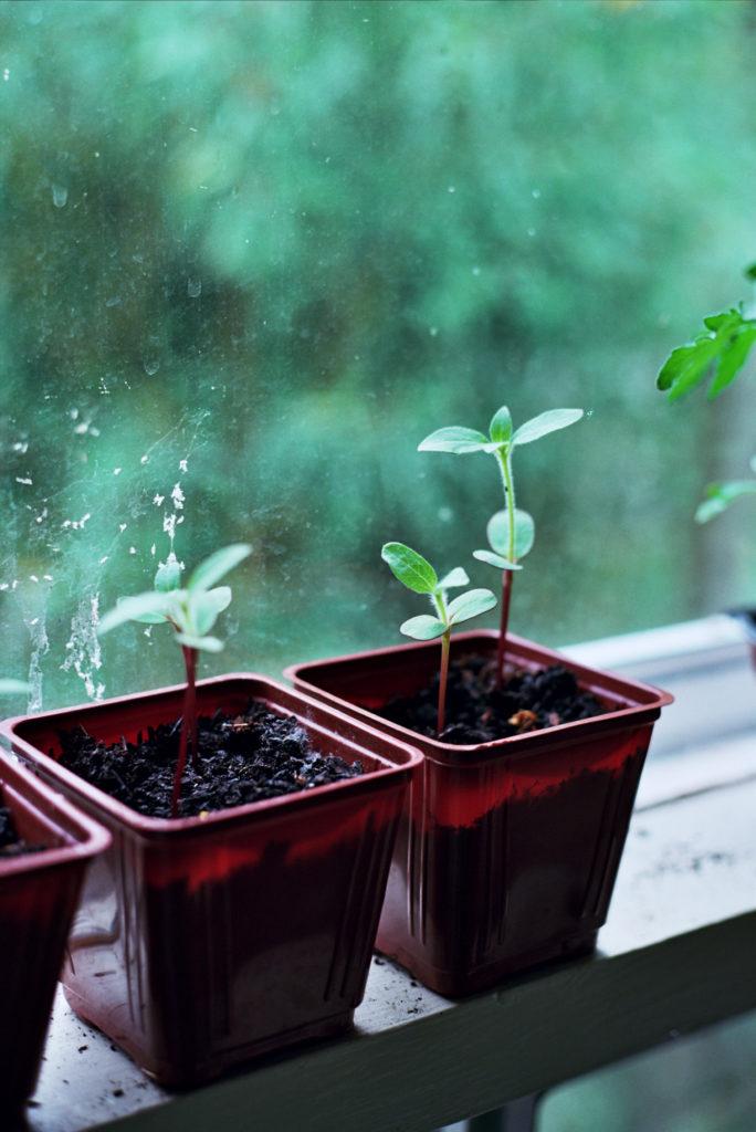 Seedlings in a sunny windowsill
