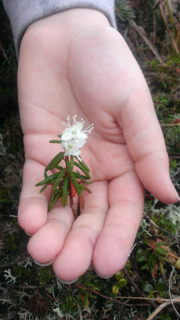 A hand showcases a white flower with pinnate leaves.