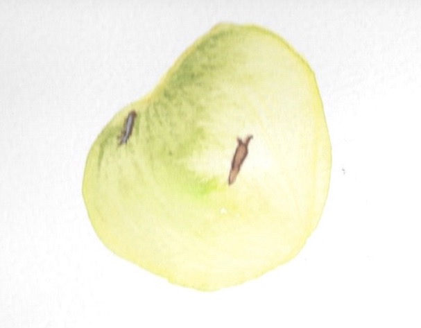 Painting of a small green tomato with a tiny slug crawling across it