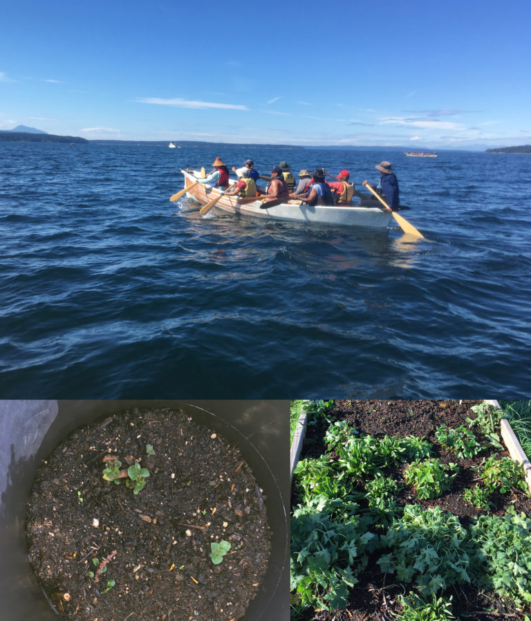 a photo collage of people paddling a canoe on the Salish sea, a container of Ozette potato plants, and a garden bed.