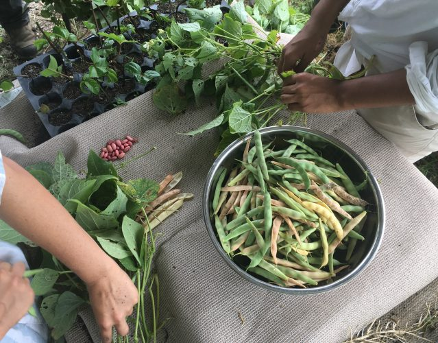 Two people harvest beans, placing them into a metal bowl.